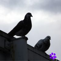 Feral Pigeons (23.05.13) by LacedShadowDiamond