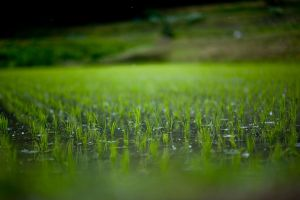 Rain in Rice Field2 by jasdt