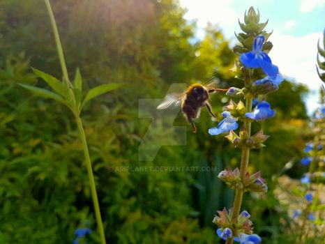 Flight Of The Bumble Bee by AriPlanet