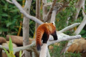 Red panda 3 by Chunga-Stock