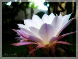 cactus flower2 by ad-shor