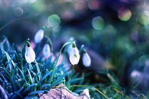 Snowdrops by Schnitzelyne