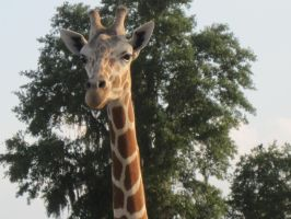Stock: Giraffe 23 by equizotical
