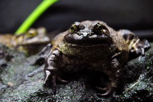 Frogs - I by MyReasonInLife