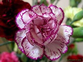 White and Purple Carnation by Xiuhcoalt