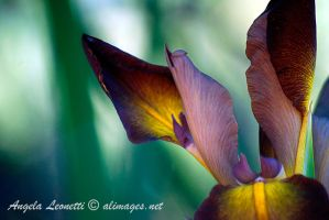 A Touch Of Iris by AngelaLeonetti