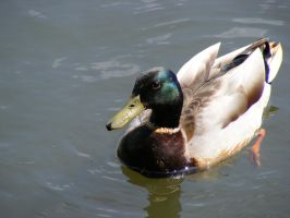 Duck 3 by Pyritie