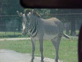 Zebra from the car by imerald