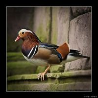 Pato mandarin by ufinderip