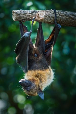 Flying Fox 01 by NellyGrace3103