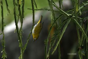 Oriental White eye 2 by himphotography
