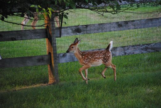 White Tailed Deer Fawn 1.5 by mocking-turtle-stock