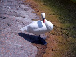 Swan 5 by shopforphotoshop