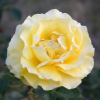 Yellow Rose by FeralWhippet