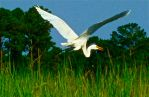 Gliding over the marsh grass by Ahopper1996