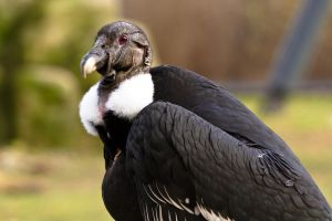 White-rumped vulture by akadime