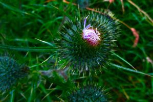 Thistle by LouisTN