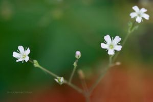 Very small white flowers... by Viand