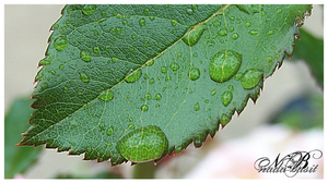 Leaf Detail With Drops by Silver-Dew-Drop