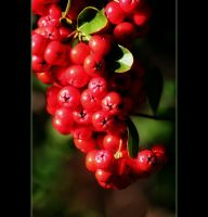 Red Berries by Vividlight