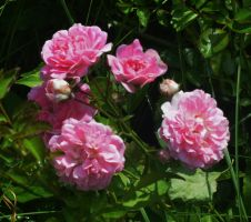 Pink Roses Of Kinder Farm by Matthew-Beziat
