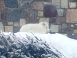 Arctic Fox by bolsterstone