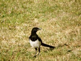 ANNOYING TEEN MAGPIE by LUSHMONTANAS
