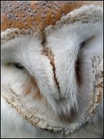 Barn owl Face Close Up by cycoze