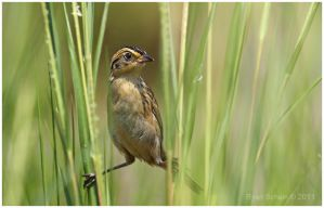 Saltmarsh Sparrow by Ryser915