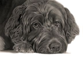 Commission - Labradoodle 'Daisy' by Captured-In-Pencil
