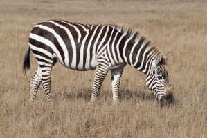 Zebra 3 by i-am-kinda-lost
