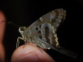 ..Long-tailed Skipper.on thumb by duggiehoo