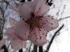 Peach Blossoms ver.5 by XiaAmane