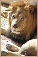 old lion eyes by Cmac13