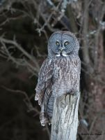 Great Gray Owl 5 by Les-Piccolo
