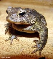 American Toad 1 by seto2112