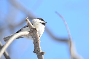 Chickadee looks to the sky by GuillaumGibault