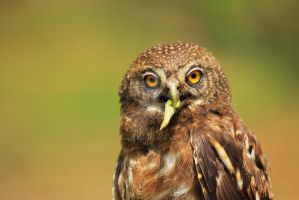Owl by jshep-photography