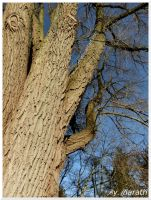 A Large Willow by Miarath