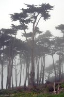 Cypress Trees in Fog by Kyndelfire