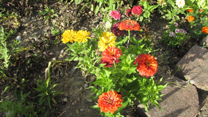 Zinnias by WDWParksGal-Stock