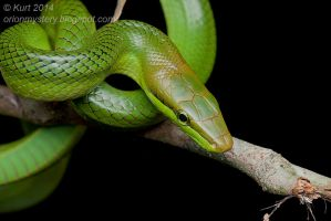 Red-tailed Racer (IMG 3310 copy) by orionmystery