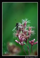 Isle Royale- flowers and bees by Jessiekins
