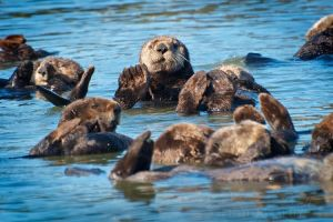A Raft of Otters by DeniseSoden