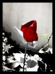 red flower by roxylife