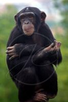 Young chimp portrait by InsaneGelfling