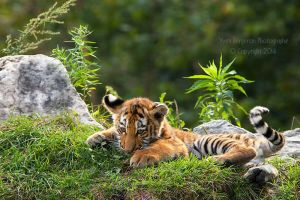 Baby Tiger II by Sagittor