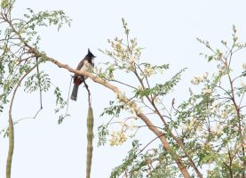 Red-whiskered Bulbul 2 by RixResources
