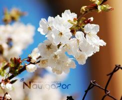 CherryBlossom by NaViGa7or