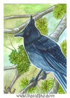 Mountain Jay ACEO by LiquidFaeStudios